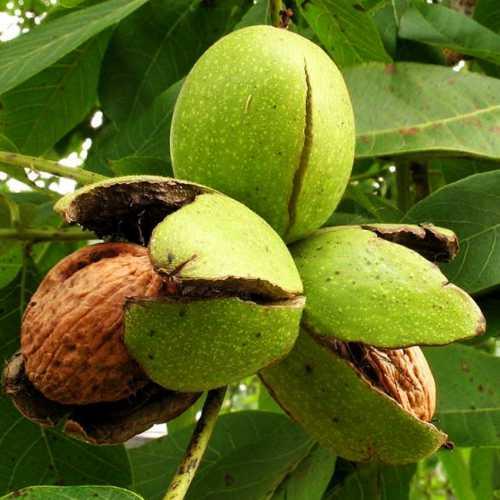 калорийность халвы и полезные свойства подсолнечной, кунжутной и арахисовой